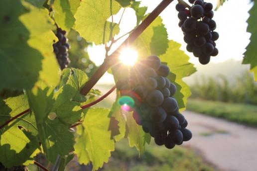 SA Wine - Grapes Red