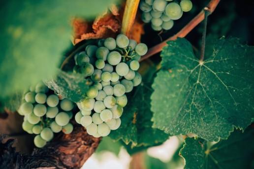 SA Wine - Grape White