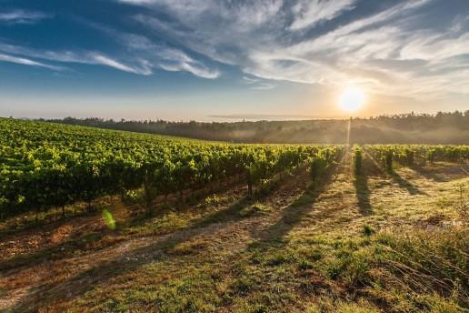 SA Wine - Vineyard
