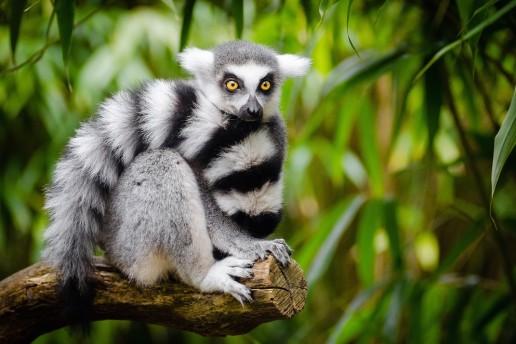 Madagascar Travel animal lemur