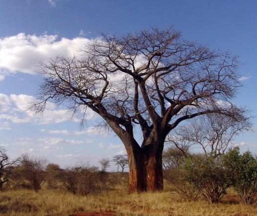 Madagascar Travel baobab