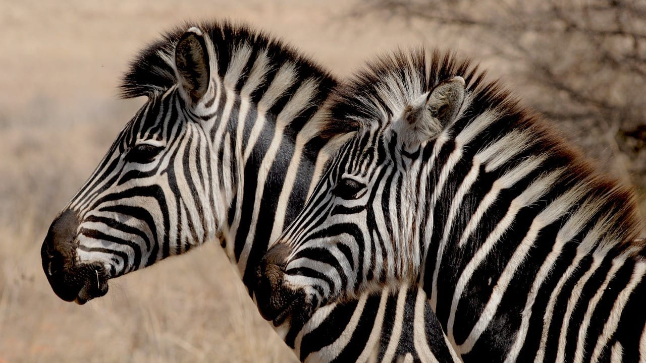 Namibia Travel zebra