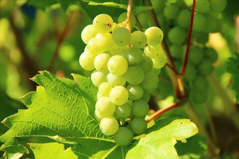 South African Wine Chenin Blanc