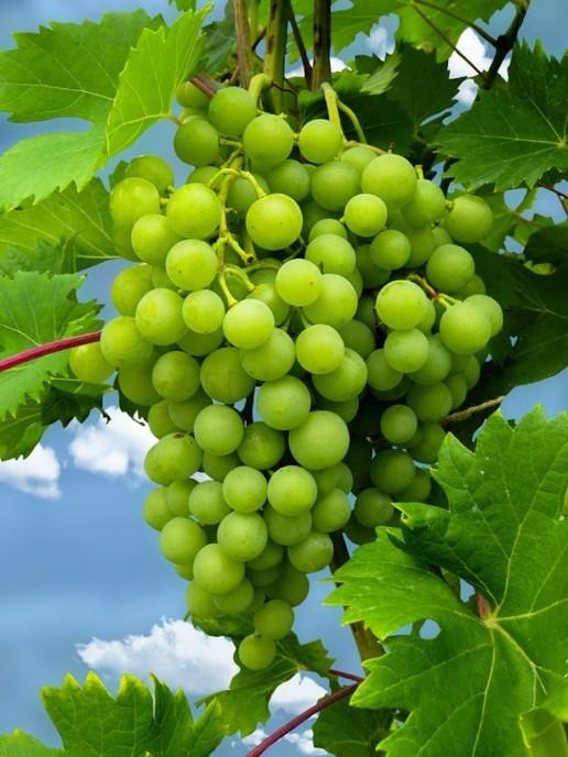 South African Wine Savignon Blanc