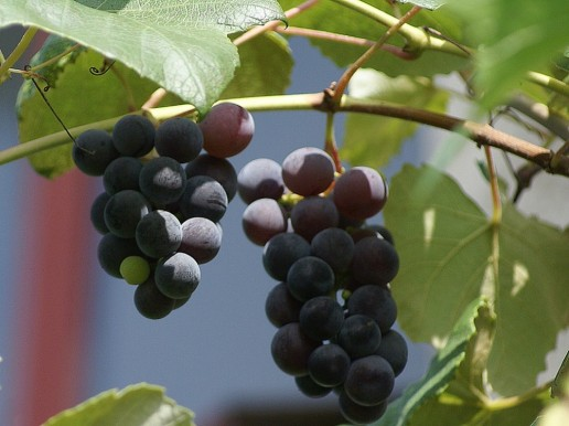 South African Wine Shiraz