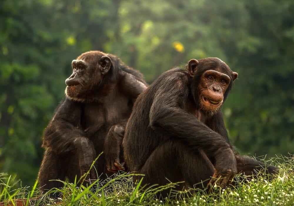 Safari Island chimp 1 e1507154690785