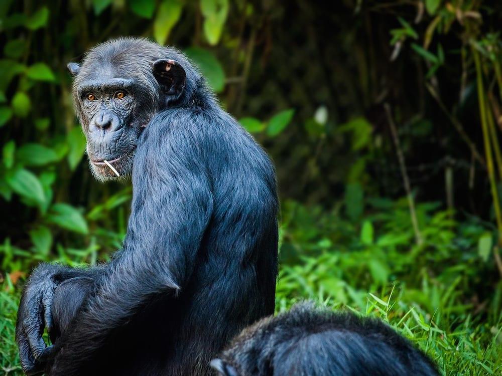 Safari Island chimpanzee 1