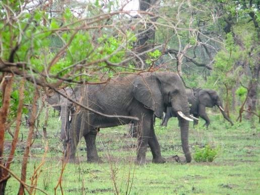 Elephants at the Liwonde National Park