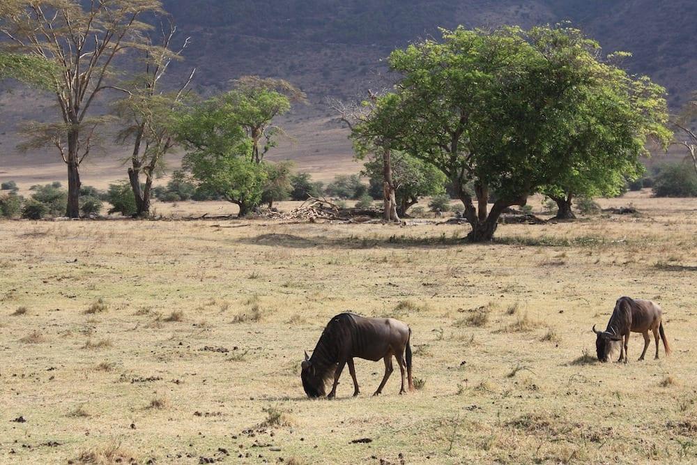 Tanzania Landmarks Wildebeests