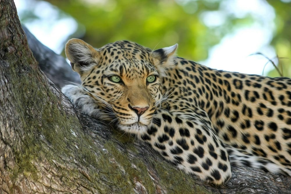 Leopard resting in a tree