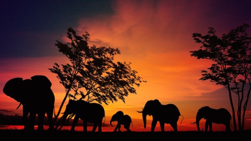Elephants on safari in sunset