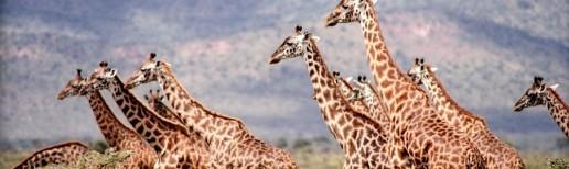 safari giraffes running