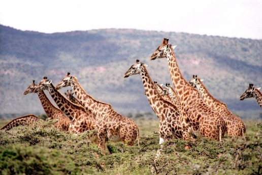 safari giraffes running