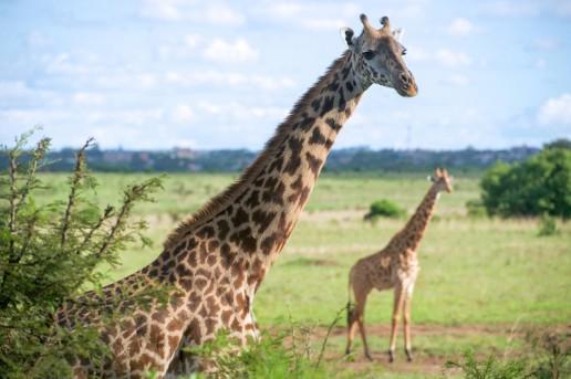 Giraffes - Landmarks of Kenya