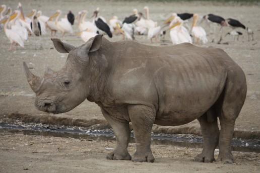 Rhino - Landmarks of Kenya