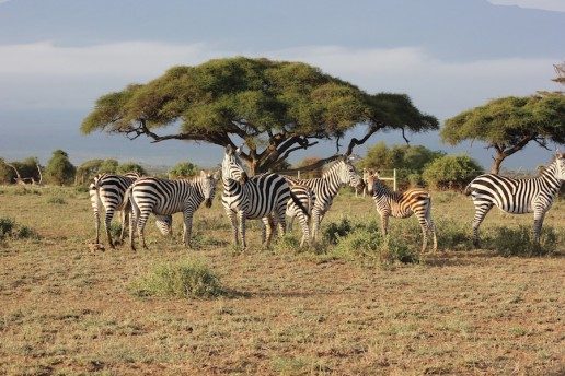 Zebras - Landmarks of Kenya