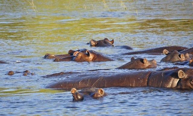 african safari hippo 73144 640