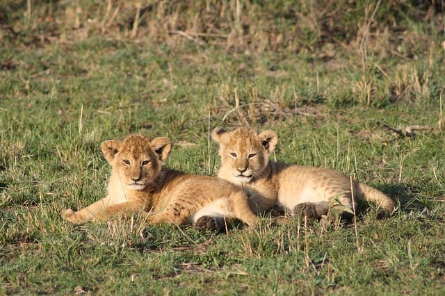 Visit to Africa Lion Cubs