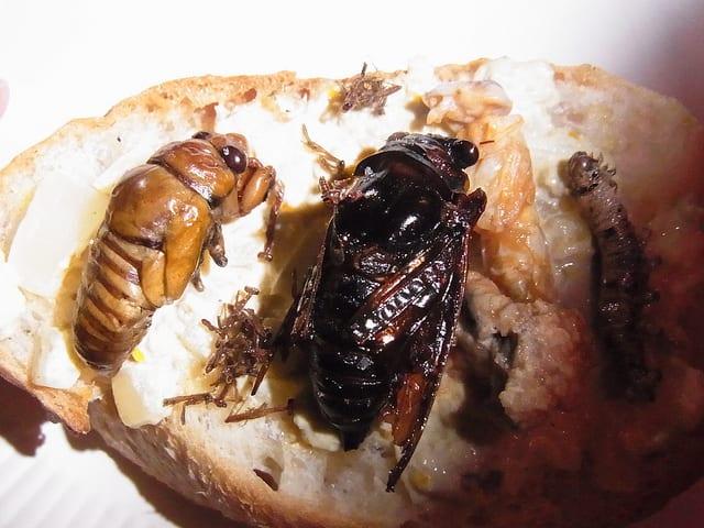 Edible African Bugs cicada
