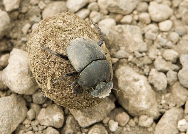 Edible African Bugs dung beetle