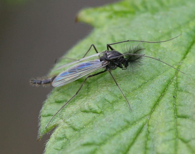 Edible African Bugs midge fly