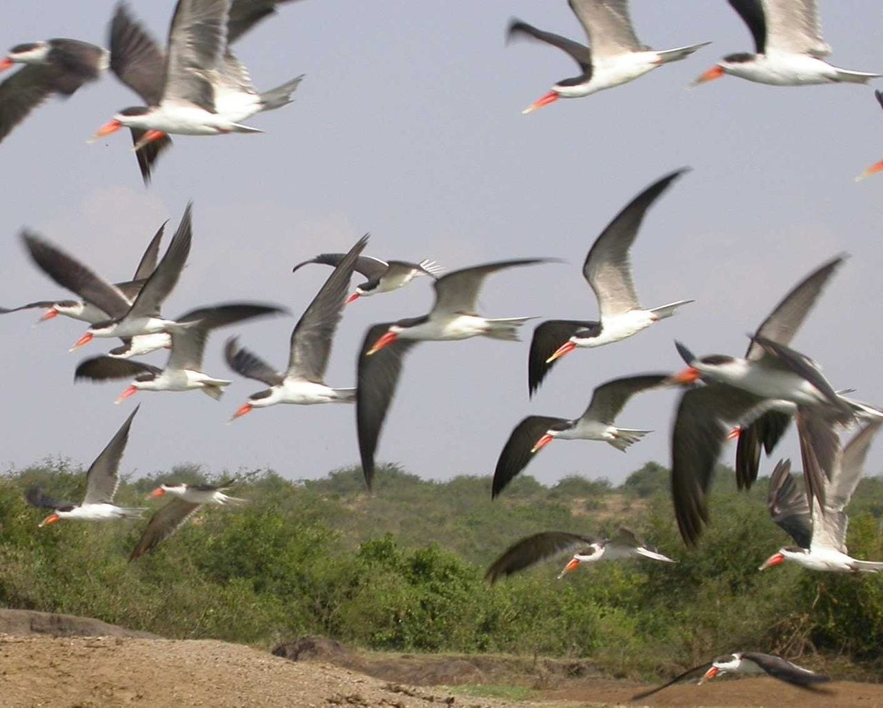 malawi travel guide African Skimmers