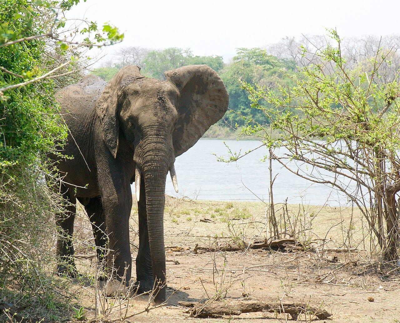 malawi travel guide Elephant at Majete wildlife reserve