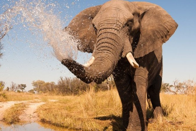 15 Things To Do In Botswana For The Whole Family spraying elephant e1439394186432 800x450