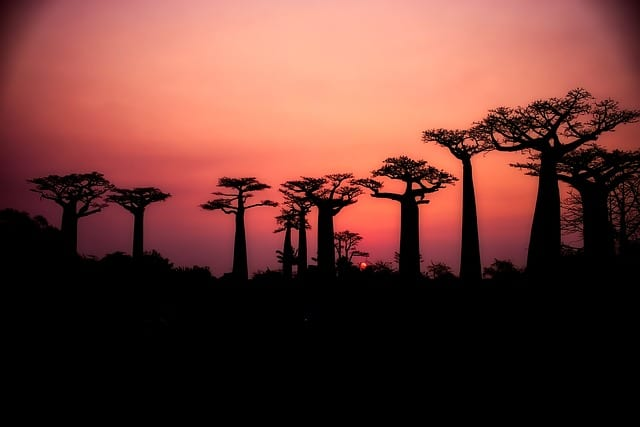 Baobab Trees Madagascar Travel Guide