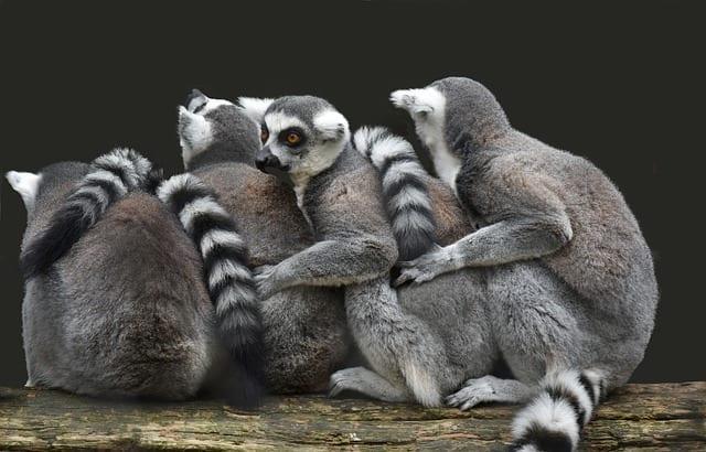 lemuriens Madagascar Travel Guide