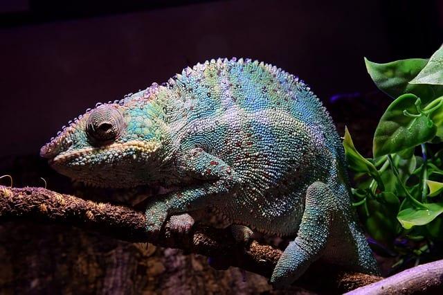 panther chameleon Madagascar Travel Guide