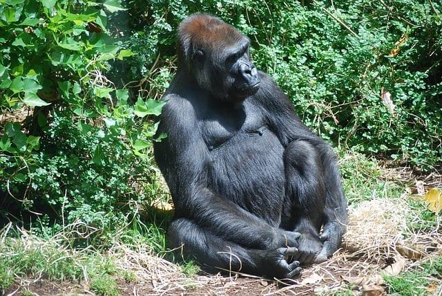 Gorilla Trekking Uganda 02