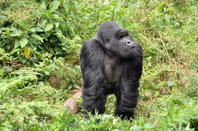 Gorilla Trekking Uganda 04