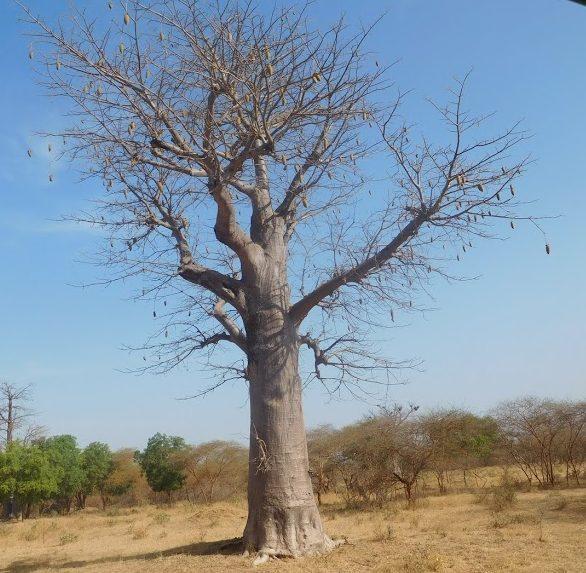 baobab tree @ bandia